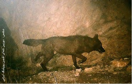 گرگ سیاه ایرانی