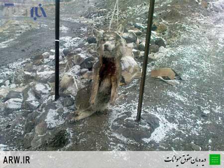 دار زدن گرگ ایرانی