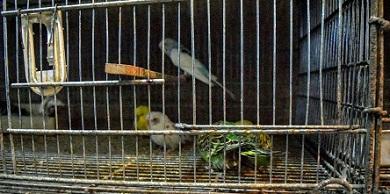 در حال و هوای اسارت (نقدی بر وضعیت پرندگان زینتی)