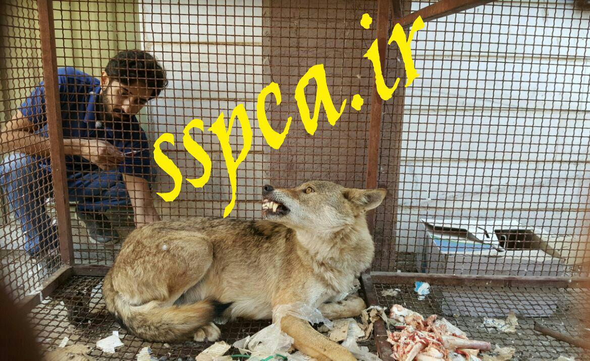 درمان گرگ ایرانی - سنندج