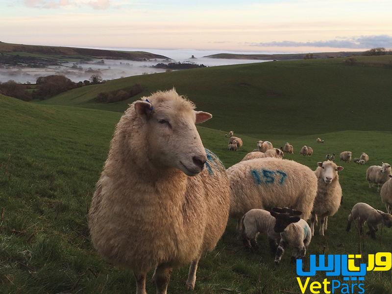 Dorset Horn - Polled Dorset