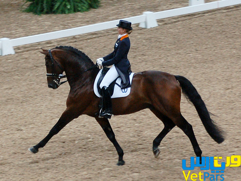 Danish Warmblood