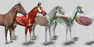 آناتومی اسب