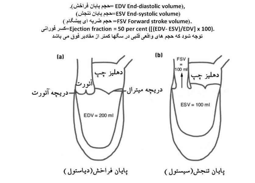 حجم های قلبی در چرخه قلبی