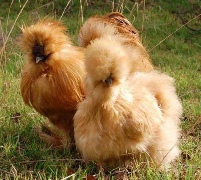 مرغ ابریشمی به رنگ زرد نخودی