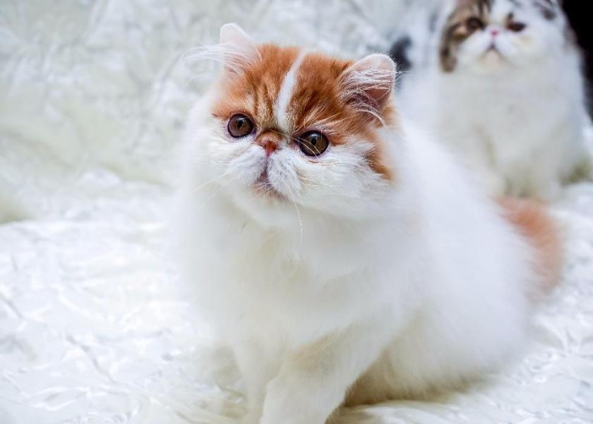 گربه ایرانی پرشین اوکراین