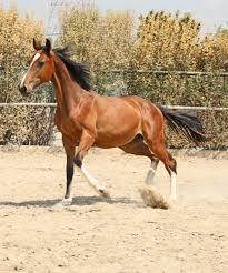 کنسانتره اسب های 1 ساله