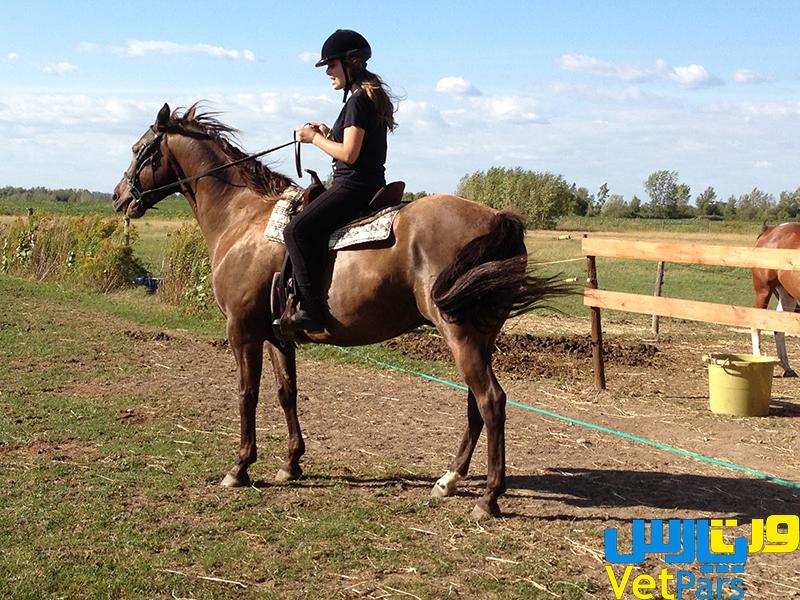 cheval de selle francais