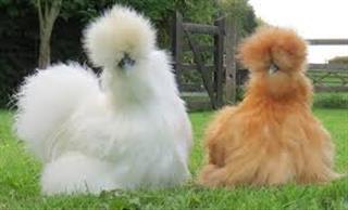مرغ های ابریشمی سیلیکی پشمالو