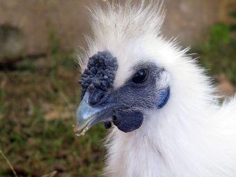 مرغ های ابریشمی سیلیکی بدون ریش(زده شده)