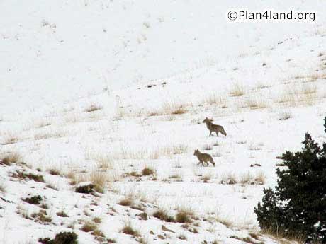 گرگ های ایرانی