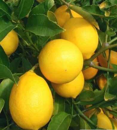 خواص درمانی لیمو ترش