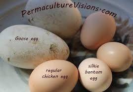 مقایسه اندازه تخم مرغ های مرغ سیلیکی