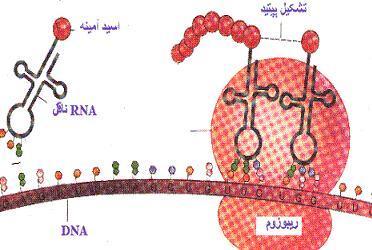چگونگی پروتئینسازی در داخل سلول های بدن