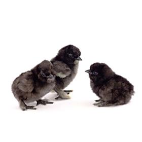 جوجه های سیاه مرغ های ابریشمی (سلیکی)